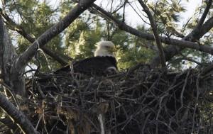Eaglet in 2013